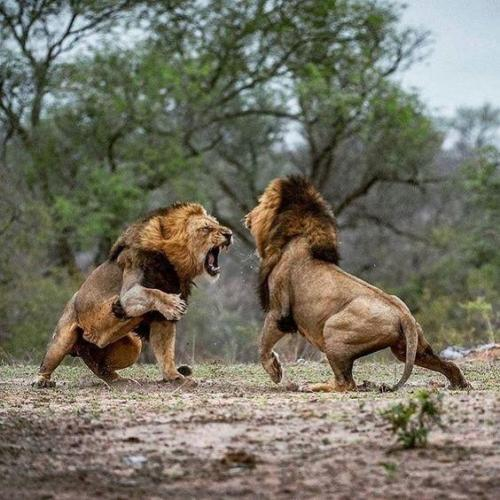 lion fighting
