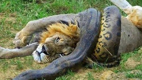 lion vs anaconda