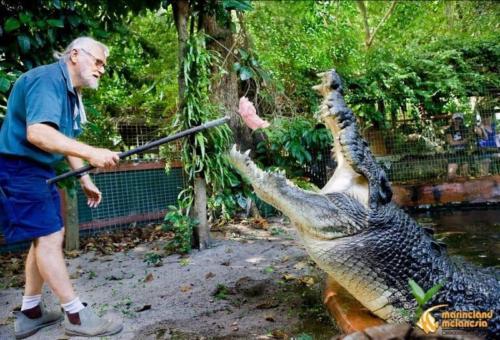 man feeding live to crocodile