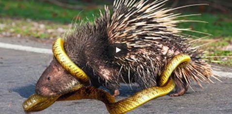 porcupine vs snake