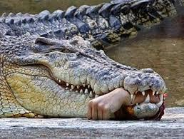 salt water crocodile with human hand