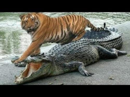 siberian tiger vs crocodile