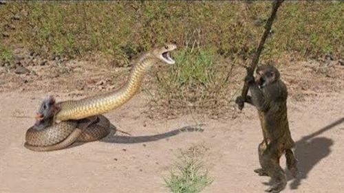 snake vs monkey fight
